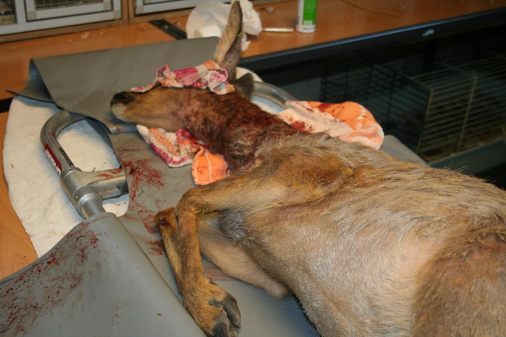 Roe Deer attacked by dog